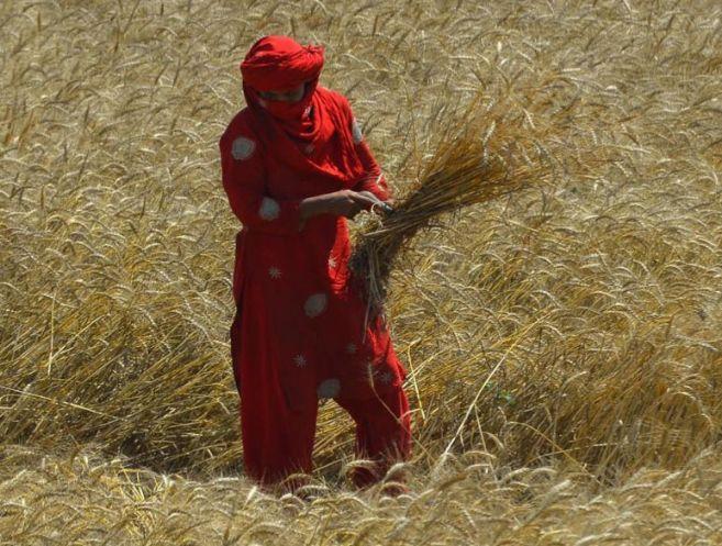 Una mujer paquistaní recoge la cosecha.