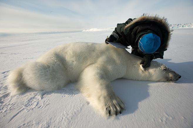 Un oso polar en Svalvard.