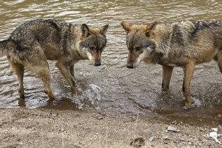Dos ejemplares de lobo.