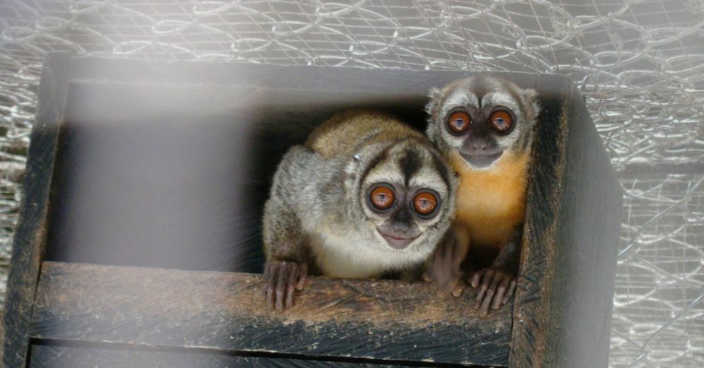 Los monos del litigio. El gris, según Maldonado, es colombiano, y el...