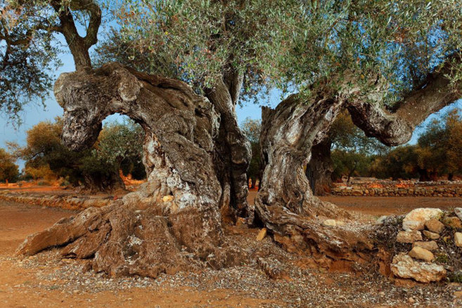 El olivo ha sido distinguido con el premio AEMO.
