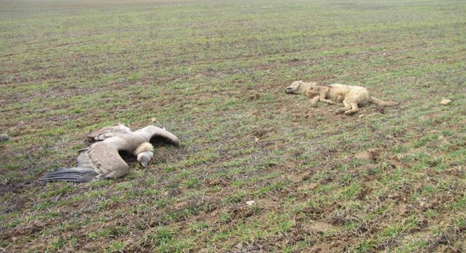 Cadáveres de un lobo y un buitre leonado