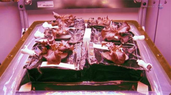Las lechugas empiezan a brotar en el invernadero Veggie durante una de...
