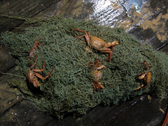 Cangrejos atrapados en una red de pesca abandonada en el...