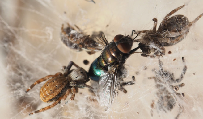 Arañas 'Stegodyphus mimosarum' momentos antes de devorar a...