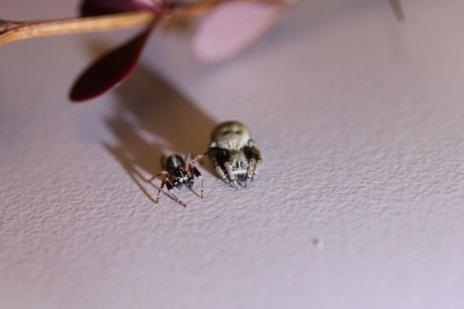 Un macho (izquierda) y una hembra (derecha) de Stegodyphus mimosarum