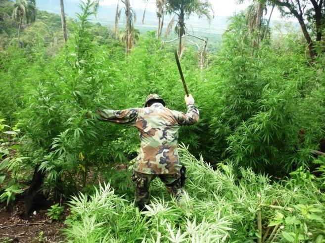 La Mejor Marihuana Del Mundo Internacional El Mundo
