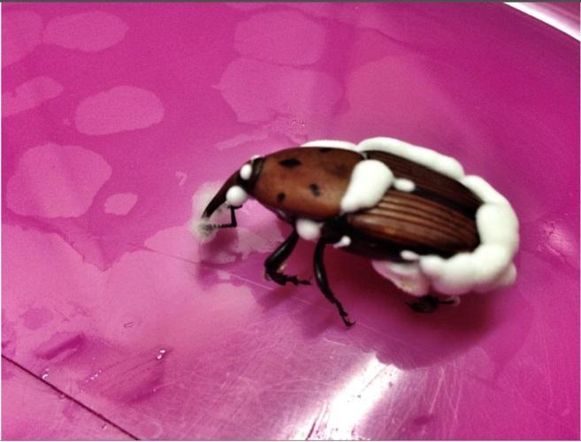 Un escarabajo del picudo rojo después de haber sido infestado por el...