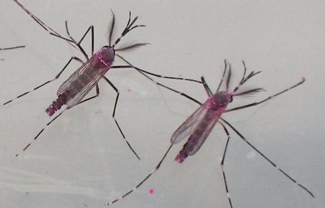 Dos mosquitos de la especie 'Aedes aegypti'