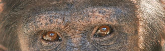 Mirada de un ejemplar de chimpancé del Centro de Investigación New...