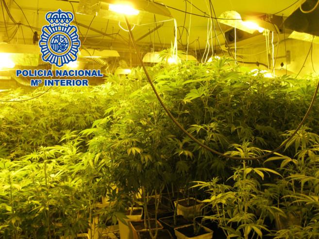 Una de las plantaciones de marihuana que la banda detenida poseía en...