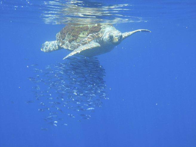 Una de las tortugas protegidas rodeada de peces, en el mar...