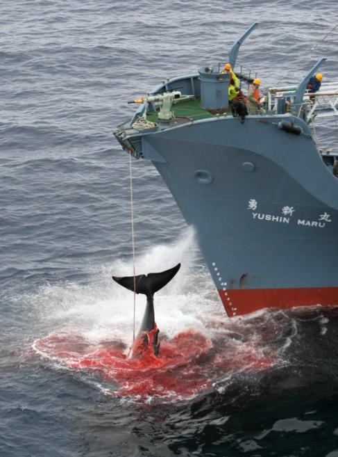 Un ballenero japonés caza una ballena en el Ártico.