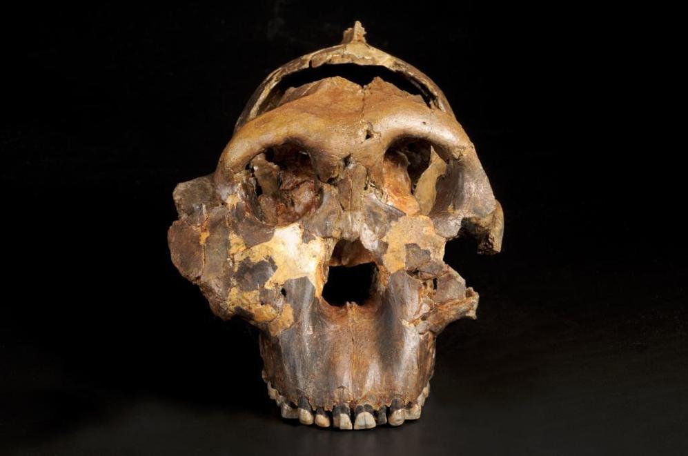 Cráneo del 'Zinjantrophus boisei' encontrado por Mary...