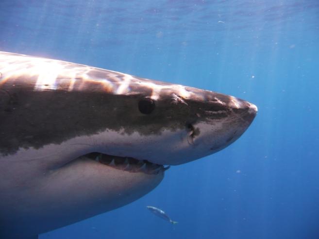 Un  tiburón blanco ('Carcharodon carcharias').