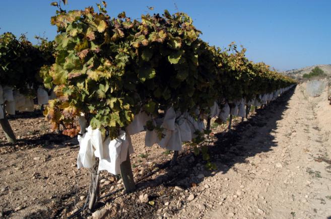 Cultivo de uva de mesa en Aspe.