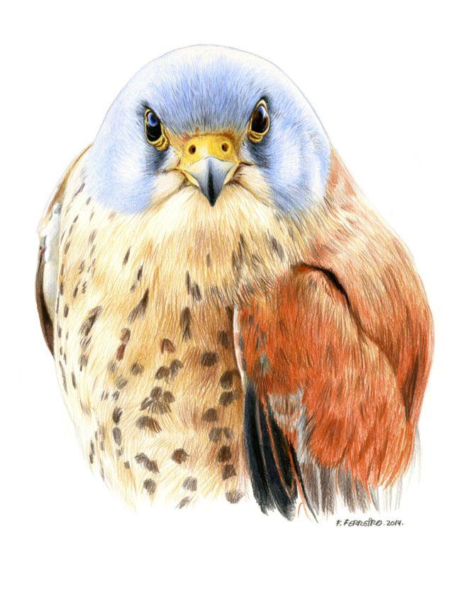 Un cernícalo primilla ('Falco naumanni')