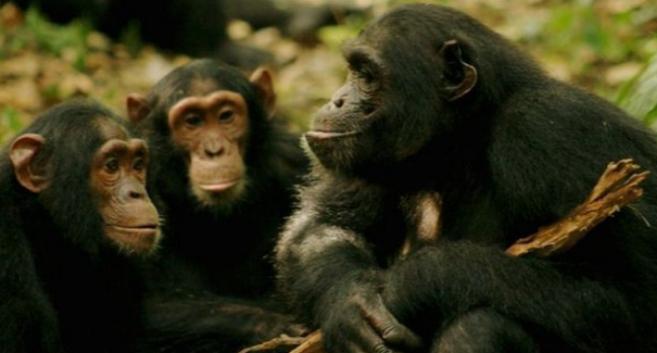 Algunos de los chimpancés cuyos gestos se estudiaron en Uganda.