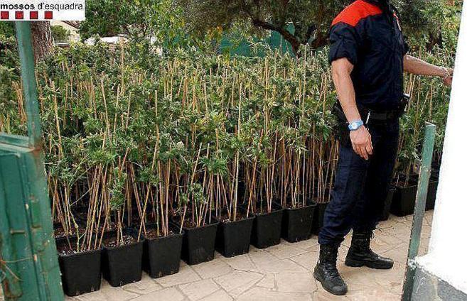 Plantas de marihuana incautadas en una operación de los Mossos