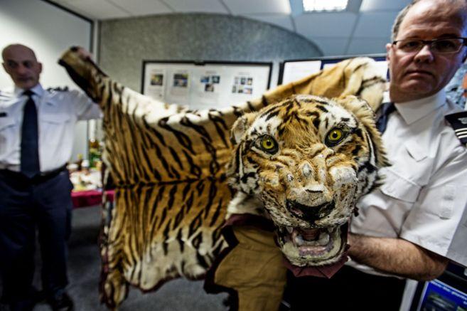 Con pieles de tigre como ésta, incautada en el aeropuerto de Heathrow...