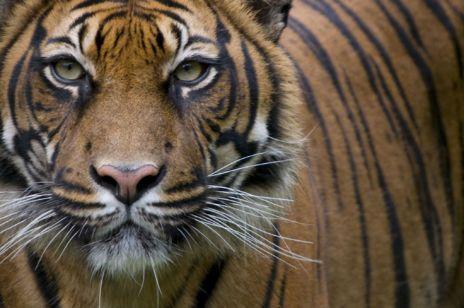 Tigre de Sumatra en cautividad.