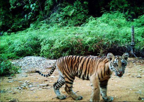 Tigre captado con cámara oculta.