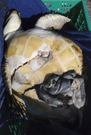 Ejemplar de tortuga verde entregado a la ONG Océano Sostenible,...