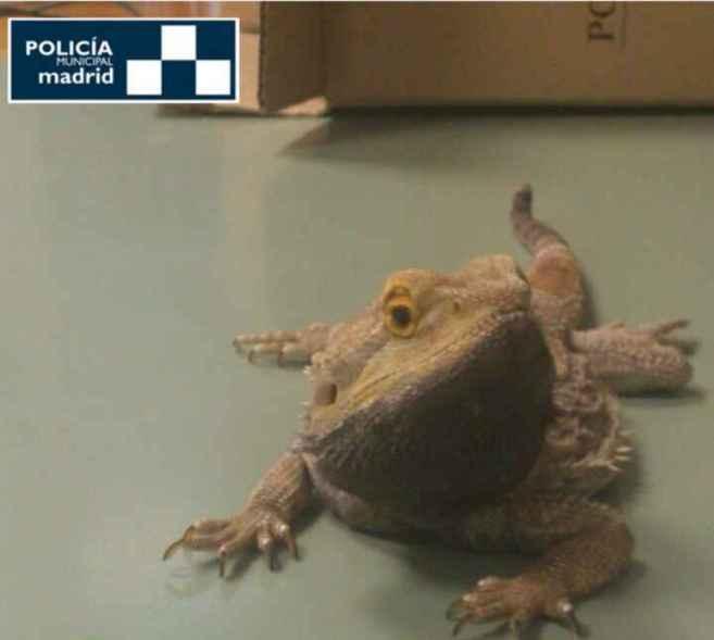 El dragón barbudo rescatado en la calle Cartagena.