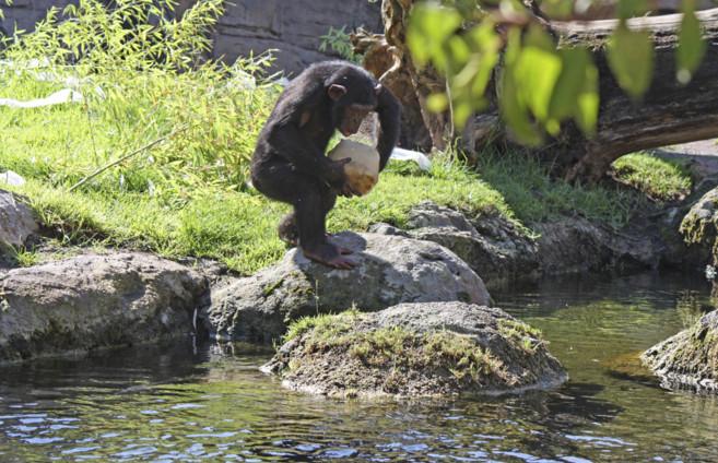 Festín de los chimpancés en Bioparc Valencia, este domingo.