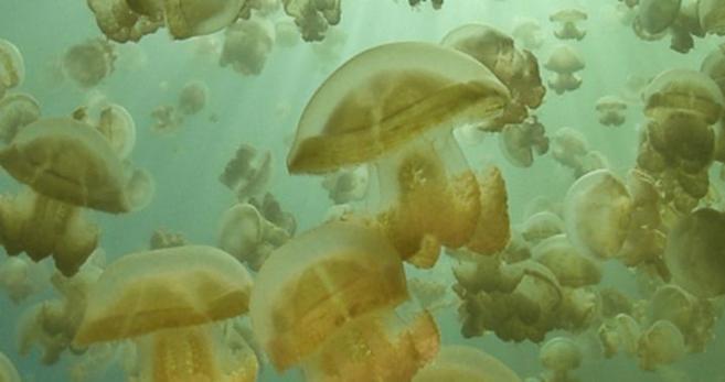 Medusas doradas (mastigias) en el Lago de las medusas, en Palau.