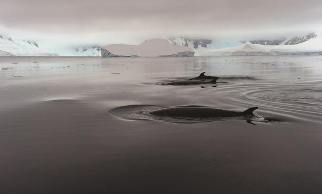 Dos ballenas minke