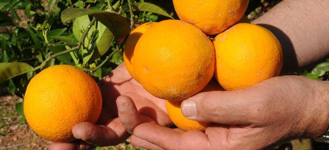 Un agricultor muestra su producción de naranjas.