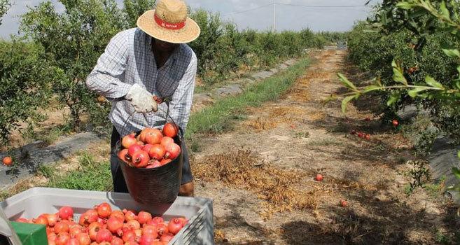 Un agricultor recoge su cosecha de granadas en Elche.