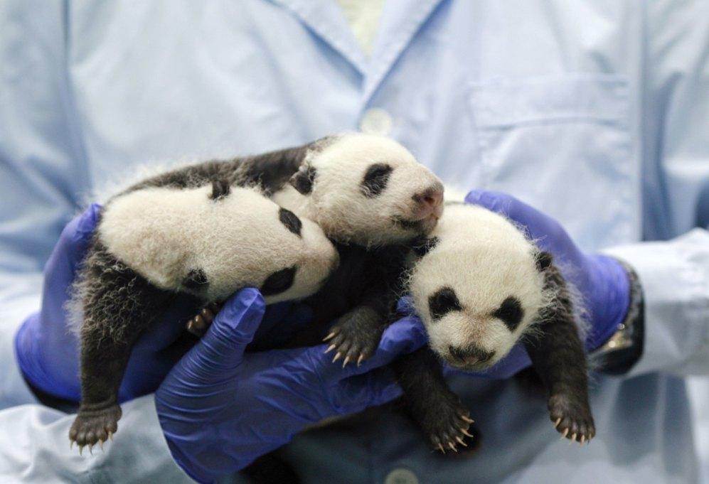 La fotografía mustra a los trillizos de panda gigante, de tan solo un...