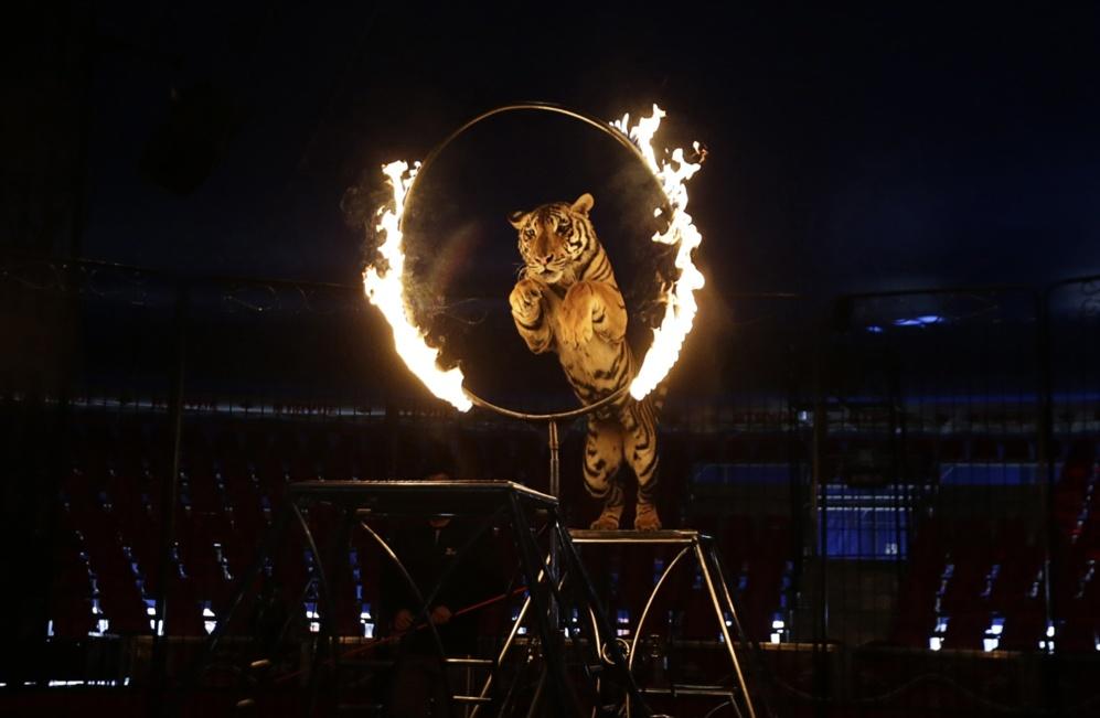 """Un tigre salta a través de un aro de fuego en """"El circo de los..."""