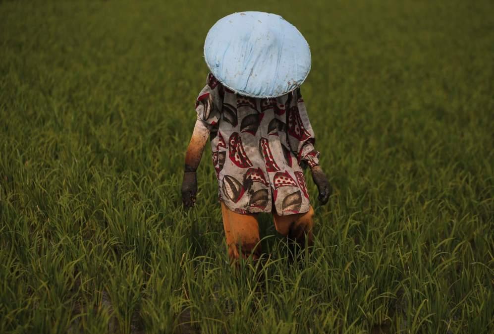 Un trabajador camina entre el arroz en Tangerang, Indonesia.