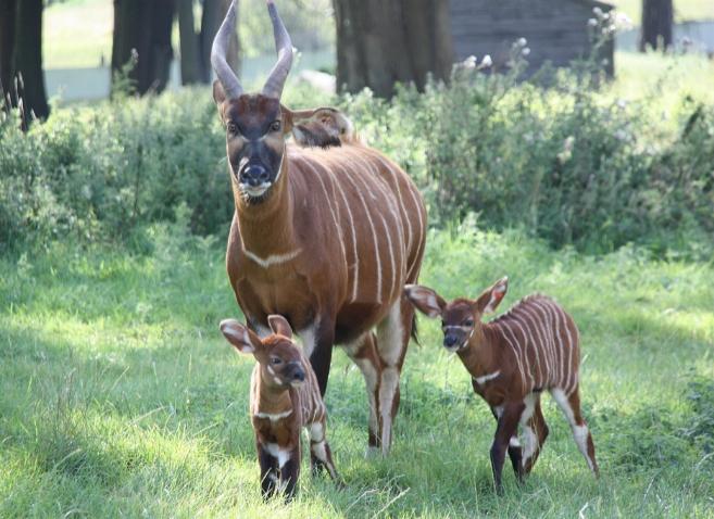 Las primeras gemelas antílope con su madre.