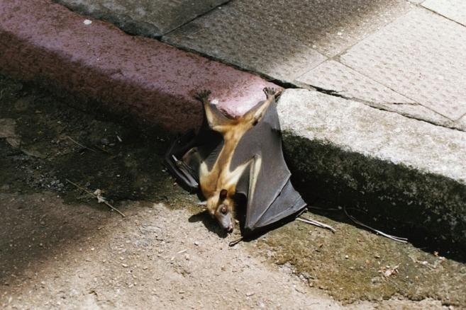 El murciélago se considera el reservorio del virus del ébola y la...