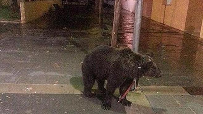 El oso atado a un farola en la localidad valenciana de Càrcer.