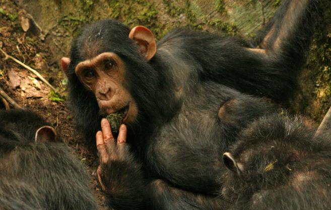Un chimpancé utilizando una esponja de musgo.