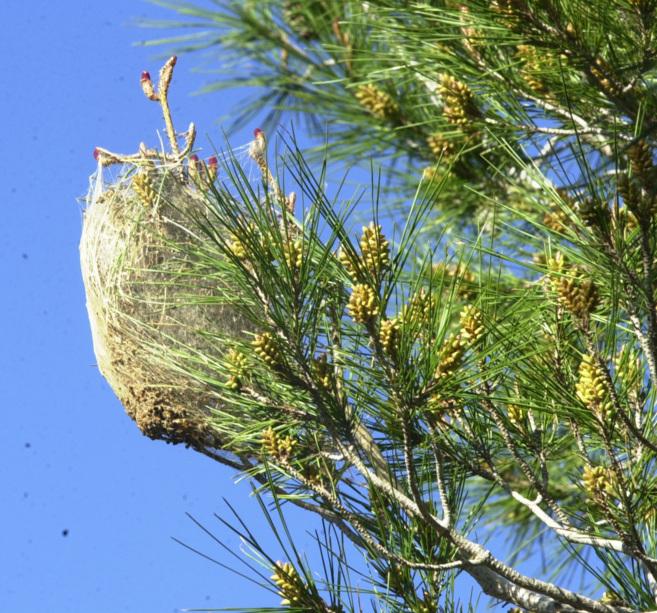 Un bolsón de procesionaria instalado en un pino.