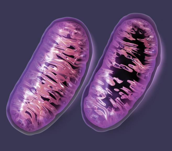 Recreación de una mitocondria sana (izquierda) y otra con mutaciones...