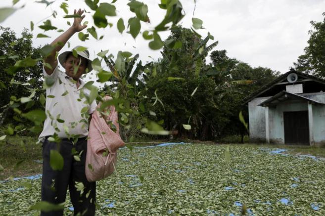 Un hombre trabaja en un campo de coca en Bolivia.