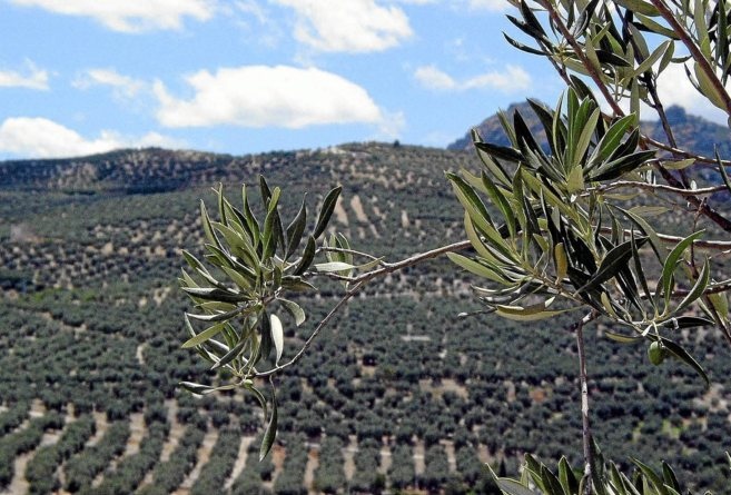 Vista general de una finca dedicada al olivar de la provincia de...