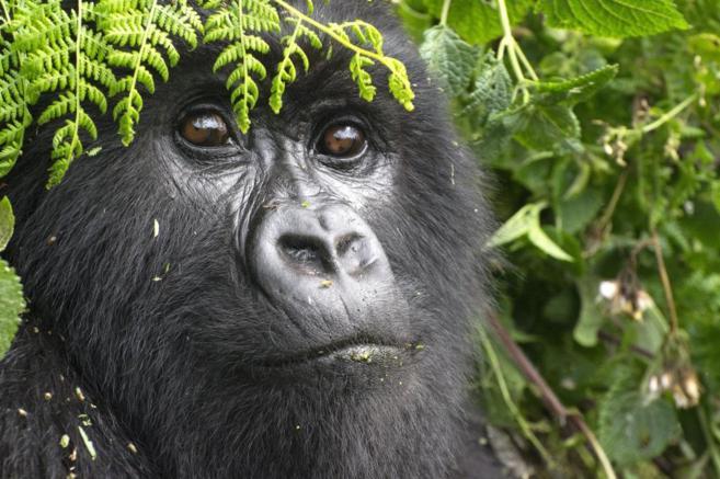 Un macho adulto en el Parque Nacional de los Volcanes de Ruanda.