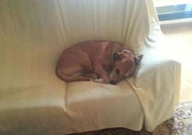 Excalibur, el perro de la auxiliar contagiada de ébola, fue...