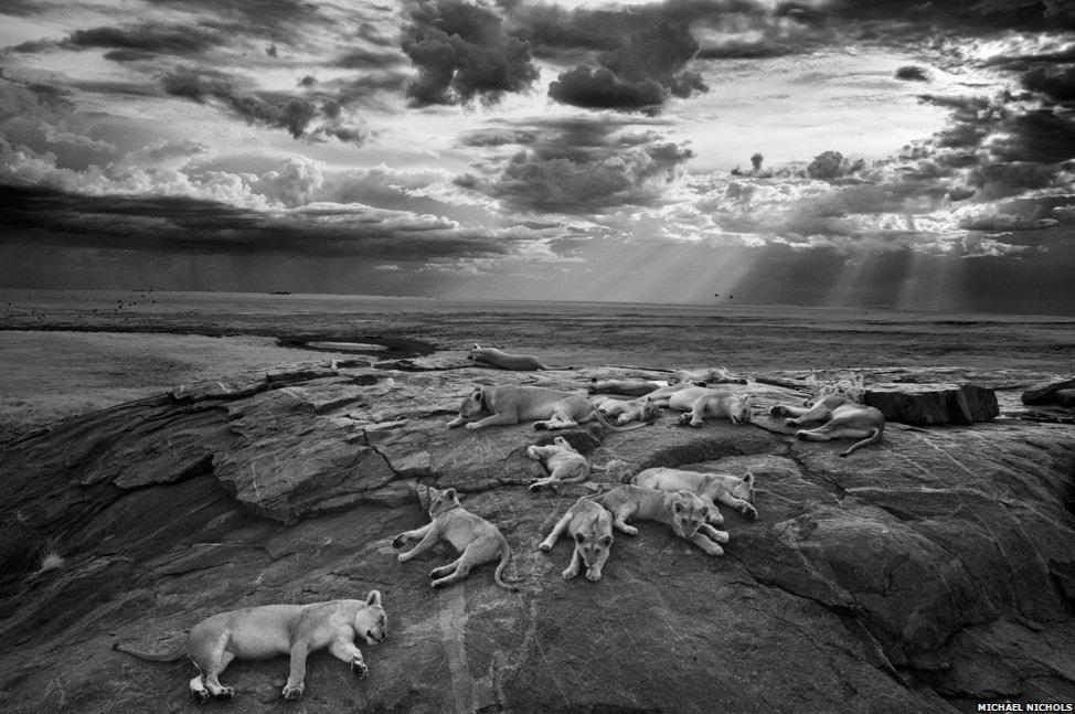 El autor siguió durante 6 meses a las leonas y tomó su fotografía...