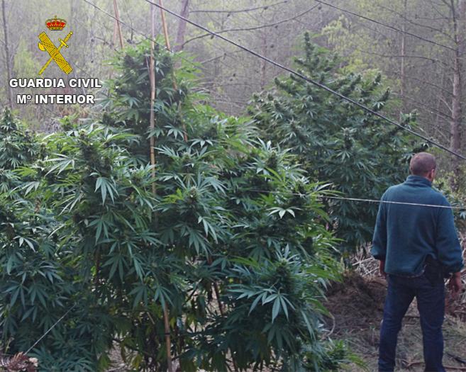 Cultivo de marihuana hallado por la Guardia Civil en el barranco de la...