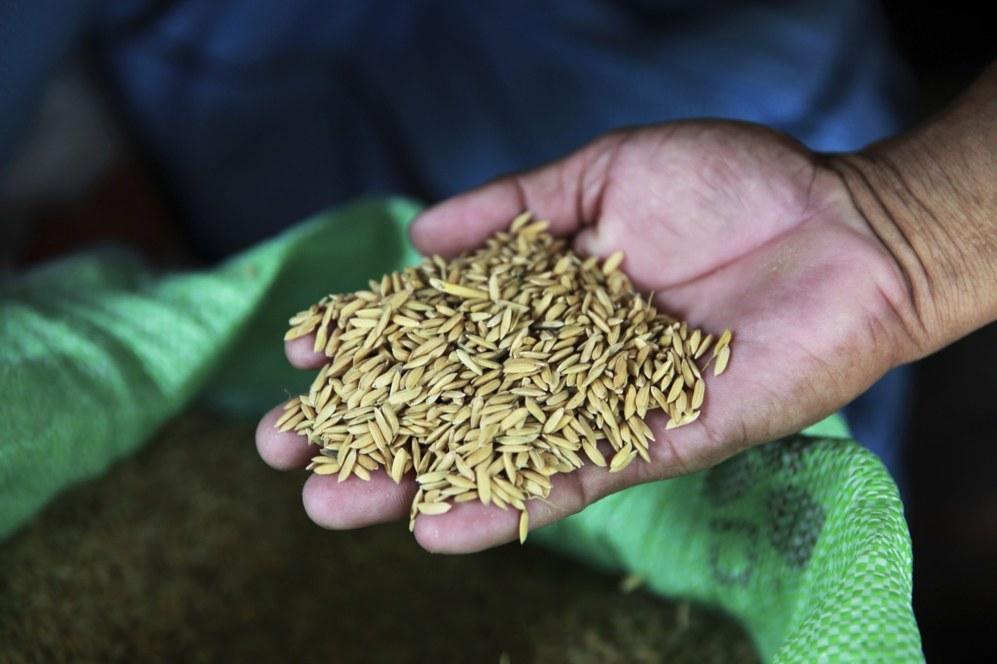 Gerry Baclayo muestra granos de arroz, recientemente cosechado, en su...