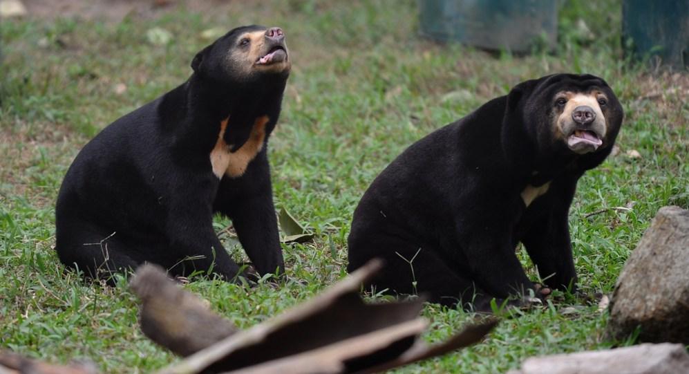 Dos osos malayos juegan dentro de uno de los recintos semi-naturales,...